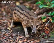 ARKive image GES133705 - Striped civet
