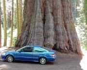 as-caracteristicas-da-sequoia-gigante-1
