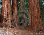 as-caracteristicas-da-sequoia-gigante-4