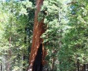 as-caracteristicas-da-sequoia-gigante-5