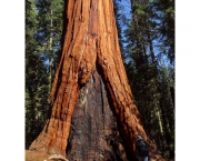 as-caracteristicas-da-sequoia-gigante-6