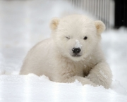 Orphaned Polar Bear Cub