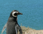 pinguim-de-magalhaes-1