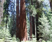 a-sequoia-gigante-pode-indicar-a-data-do-diluvio-5