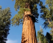 a-sequoia-gigante-pode-indicar-a-data-do-diluvio-6