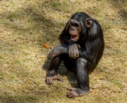 Chimp communication