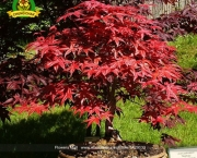 Árvore Red Maple (8)