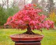 Árvore Red Maple (13)