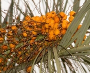 Butia catarinenses (3)