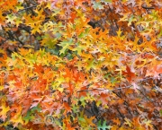 http://www.dreamstime.com/stock-image-quercus-rubra-canadian-oak-autumn-leaves-tree-image82155271