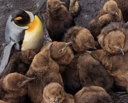 IMAGE IS FOR YOUR ONE-TIME EXCLUSIVE USE ONLY FOR MEDIA PROMOTION OF THE SEPTEMBER 2009 ISSUE OF NATIONAL GEOGRAPHIC MAGAZINE. NO SALES, NO TRANSFERS.  ©2009 Stefano Unterthiner / National Geographic  Once they reach a few months of age, chicks lose the vigilant daily care of parents and must bunch together for safety and warmth. Chick mortality runs as high as 75 percent, many dying of starvation in winter.
