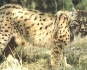 especies-de-felinos-ameacadas-do-mundo-6
