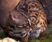 especies-de-felinos-ameacadas-do-mundo-3