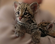 especies-de-felinos-ameacadas-do-mundo-4