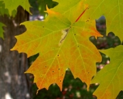 Mudas de Maple Canadense (4)