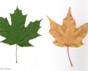 Mudas de Maple Canadense (7)