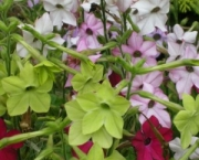nicotiana-excelsior-11