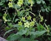 nicotiana-excelsior-15