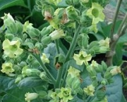 nicotiana-excelsior-9