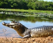 situacao-do-jacare-no-pantanal-10
