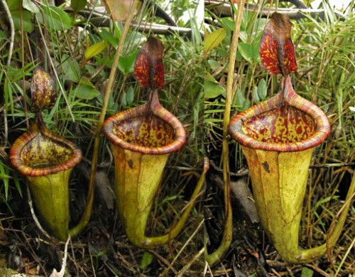 Flor Nepenthes attenboroughii